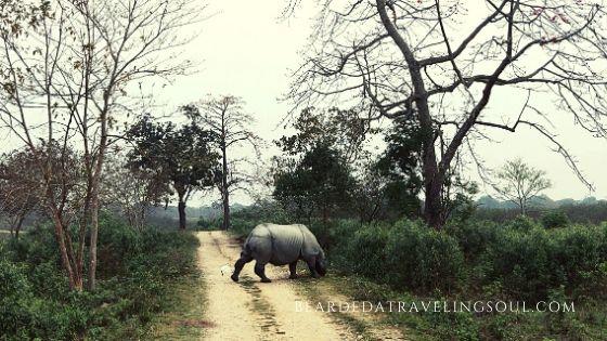 A Rhino walking past in Kaziranga NAtional Park