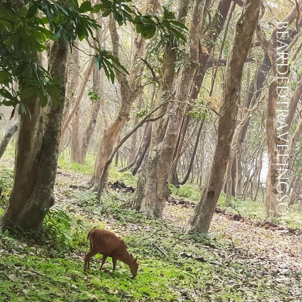 A spotted deer in Kaziranga