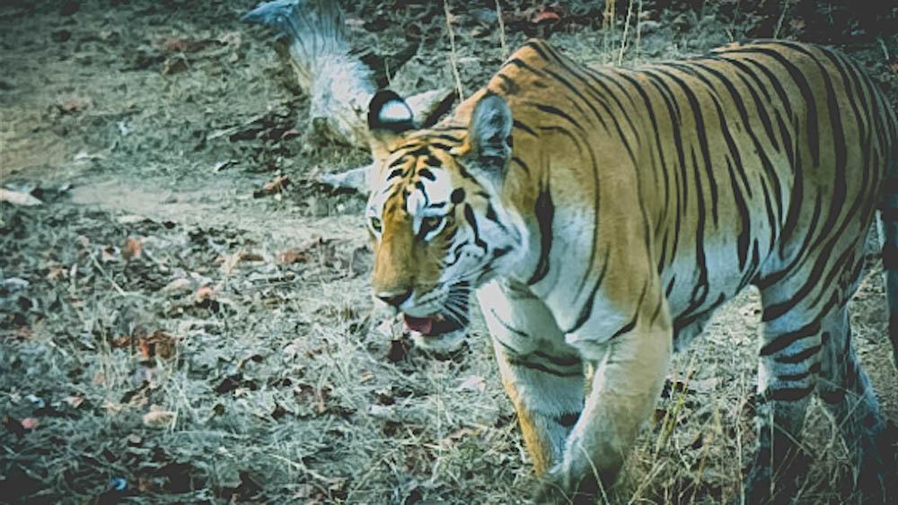 Spotting a tiger